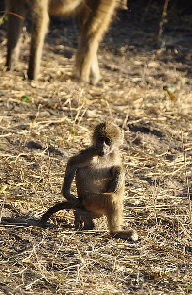 Baboon Ape Young Animal Monkey Sit Be seated Itchi