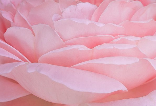 Rose Design Textures Backgrounds Leaves Greeneries