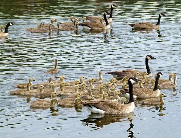 Canada Geese Litter Offspring Descendants Brood Ch