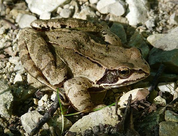Common Frog Amphibian Frog Rana Temporaria Disguis