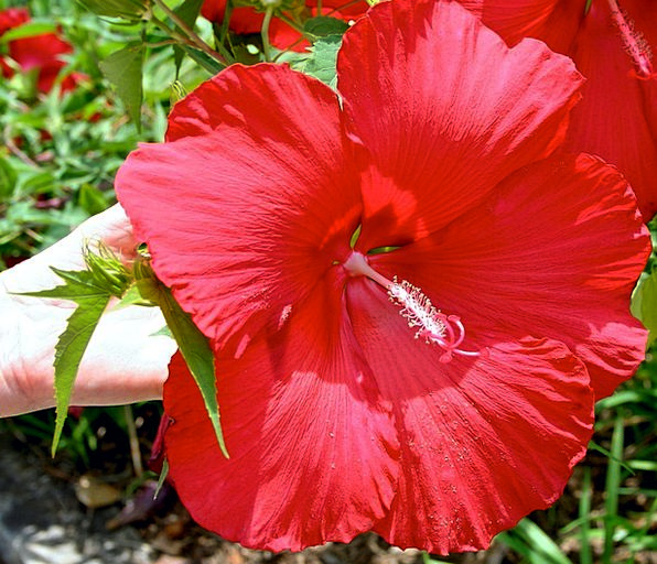 Hibiscus Summer Straw-hat Red Flower Fresh Tropica