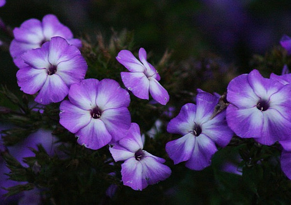 Purple Elaborate Plants Floral Flowery Flowers Blo