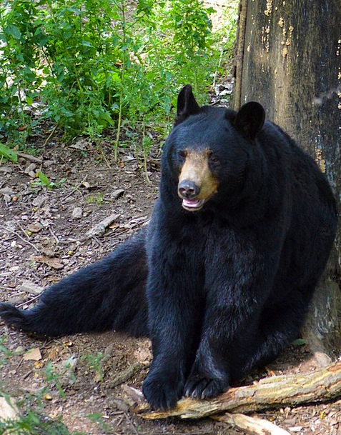 American Black Bear Tolerate Sitting Sedentary Bea