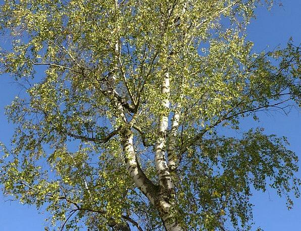 Birch Cane Landscapes Sapling Nature Autumn Fall T