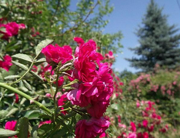 Rose Design Floret Red Rose Flower Petals Flowers