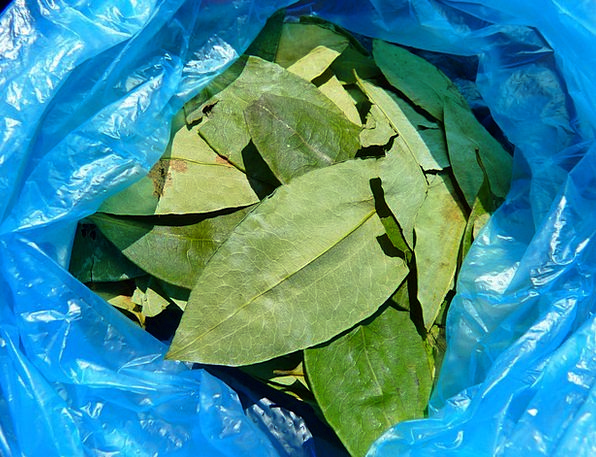 Coca Leaves Erythroxylum Coca Coca Crop Harvest St