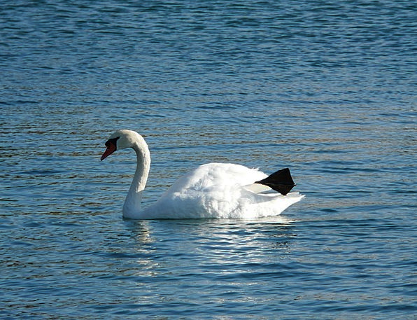Swan Wander Physical Fauna Wildlife Animal Water A