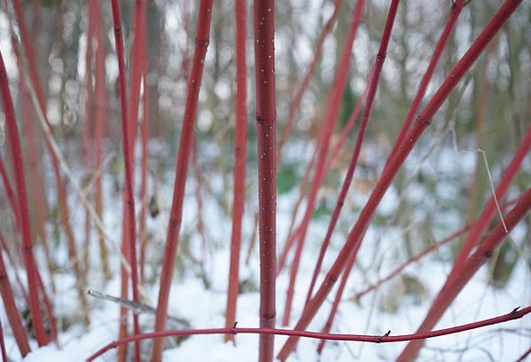 Red Dogwood Landscapes Scrubland Nature Cornus San