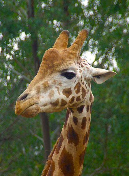 Giraffe Masculine Animal Physical Male Tall Head S