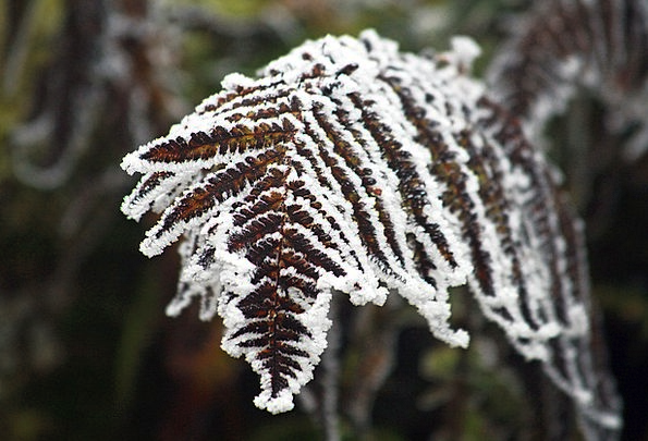 Fern Leaf Season Frozen Ice-covered Winter Icing F
