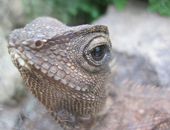 Lizard Judgment Reptile Eye Animal Physical Tiefen