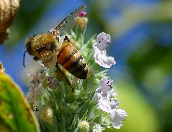 Bee Floret Pollen Flower Closeup Insect Bug Macro