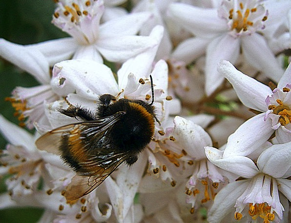 Hummel Bombus Bumblebees Stechimmen Drones Buzzes