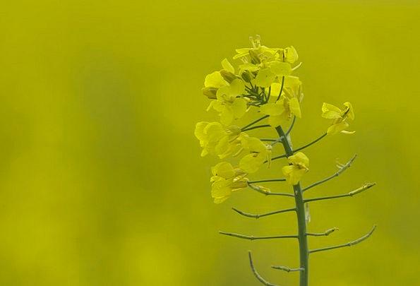 Oilseed Rape Yellow Creamy Rape Blossom Field Of R