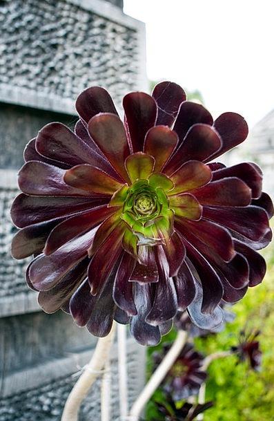 Aeonium Arboreum Landscapes Juicy Nature Plant Veg