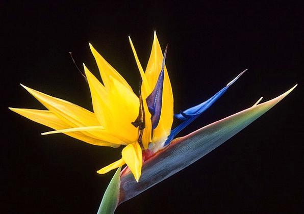 Caudata Floret Bird Of Paradise Flower Flower Stre