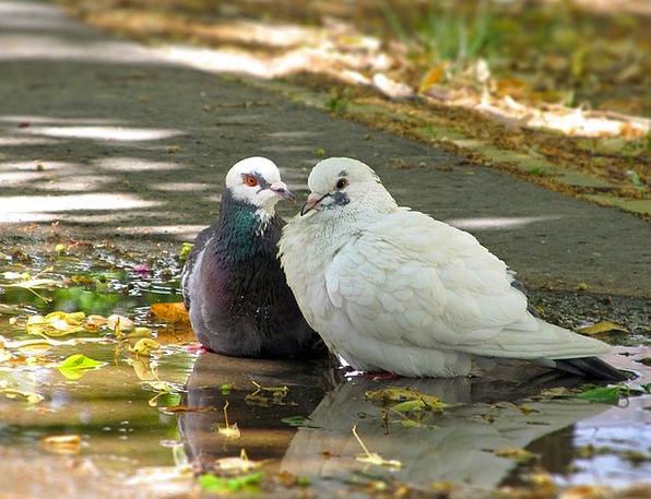 Doves Pacifists Natures In Pairs Birds
