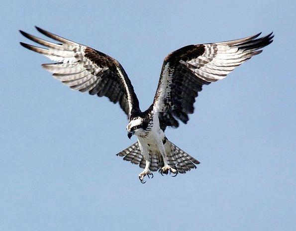 Osprey Bird Of Prey Adler Raptor Spotting Bird Pan