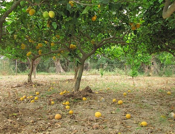 Lemons Duds Citrus Fruit Citrus Corfu Greece