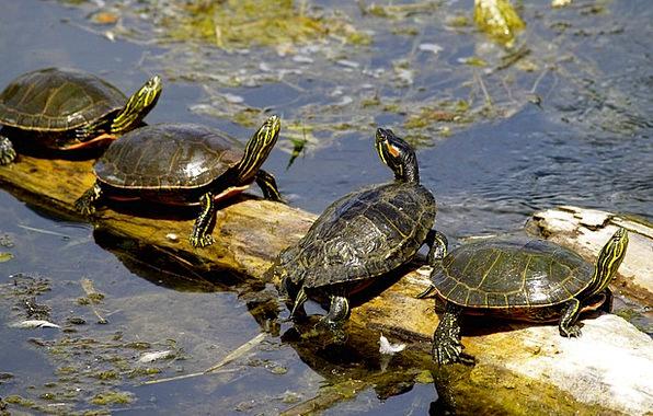 Turtles Lake Freshwater Sushwap Animal Physical Wa