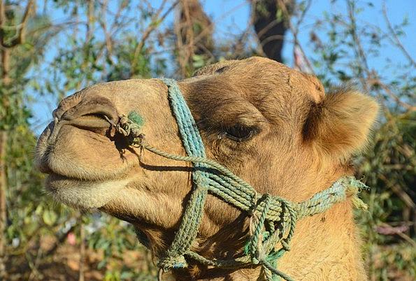 Camel Beige Dromedary Desert Ship Desert Reward Sa