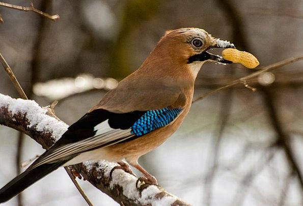 Jay Physical Bird Fowl Animal Nut Enthusiast Peanu