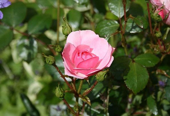 Pink Flushed Landscapes Floret Nature Rose Design