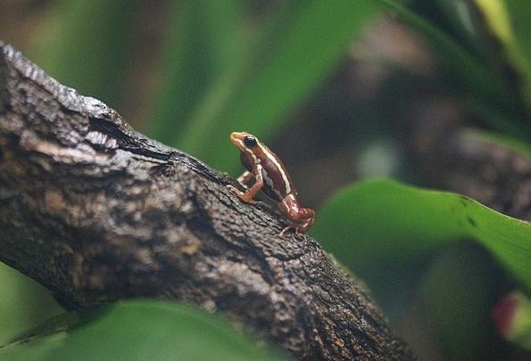 Poison Dart Frog Frog Poison Frog Exotic Unusual Amphibian