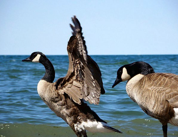 Geese Bird Fowl Goose Animal Physical Sky Ocean Wa
