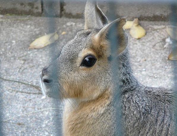 Patagonian Mara Cage Birdcage Hare Caviidae Enclos