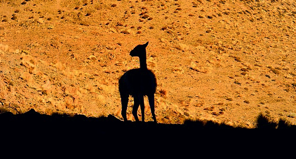 Llama Desert Reward Andes Environment Animal Physi