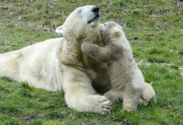 Polar Bear Feminine Cub Novice Female Endangered A