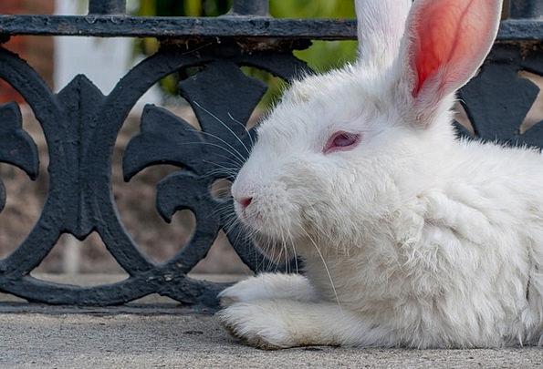 Rabbit Bunny Snowy Resting Latent White Mammal Cre