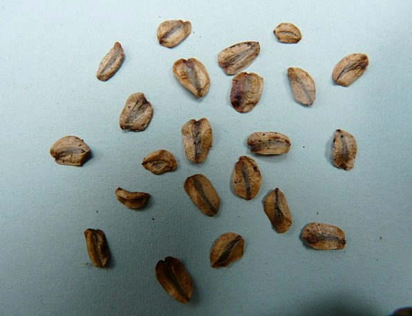 Seeds Kernels Landscapes Nature Germ Origin Sequoi