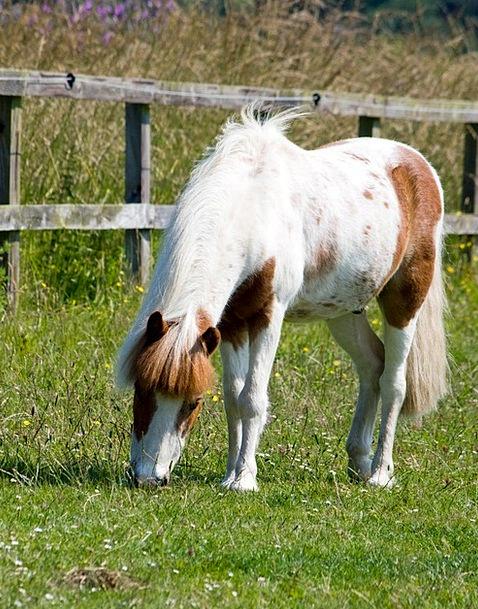 Horse Mount Shetland Pony Pony Grass Animal Physic