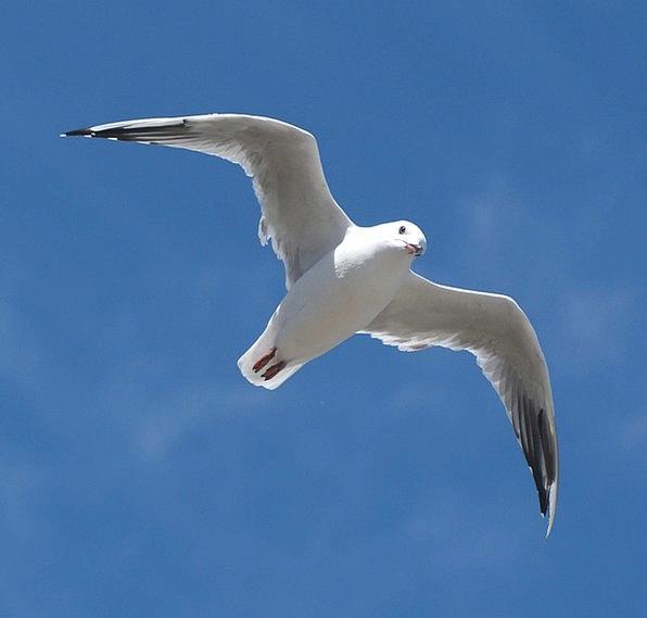 Seagull Azure Bird Fowl Blue Flying Hovering