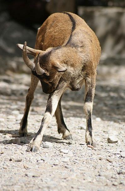 Animal Physical Sarna Goat