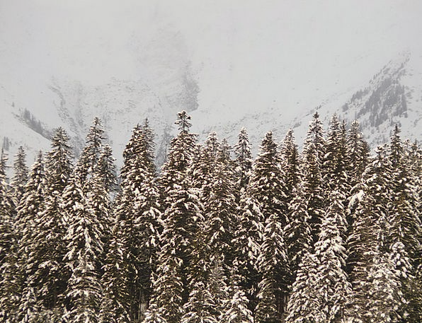 Fir Landscapes Nature Snowy Snow-white Firs Trees
