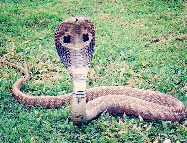 King-Cobra-Snake-Cobra-Hamadryad-Free-Image-Reptil-6362.jpg