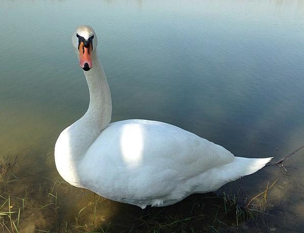 Swan Wander Nature Bird Fowl Wildlife Elegance Sty