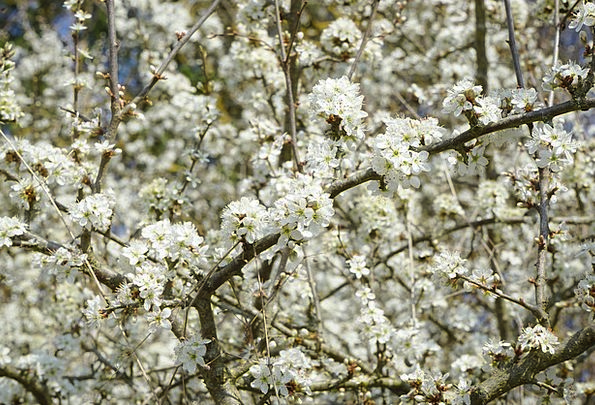 Blackthorn Flowers Flowers Plants Sloe Hedge Prunu