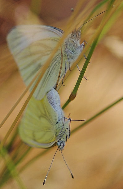 Butterfly Snowy Insect Bug White Pairing Combinati