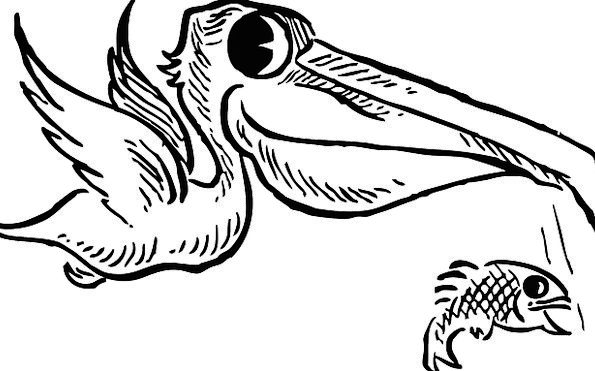 Pelican Hovering Fish Angle Flying Free Vector Gra