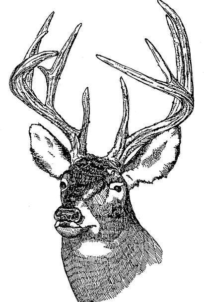 Head Skull Tailed Followed Deer White Snowy Illust