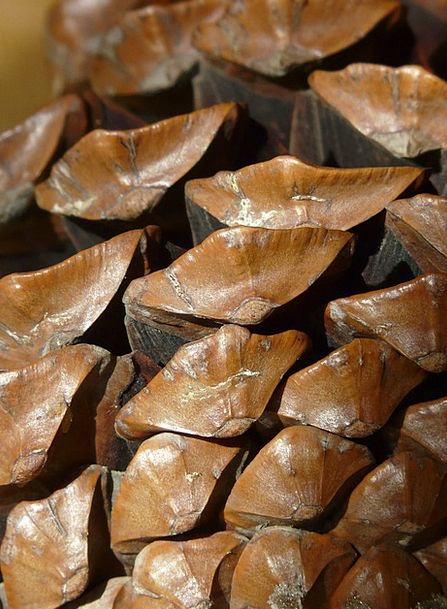 Pine Cones Blow Brown Chocolate Tap Wood Timber Ab