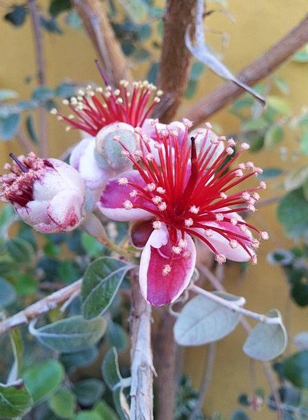 Flowers Plants Brazilian Fig Tree