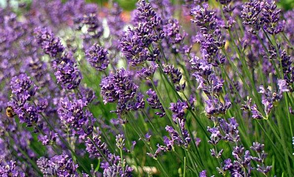 Lavender Landscapes Floret Nature Lavender Flowers