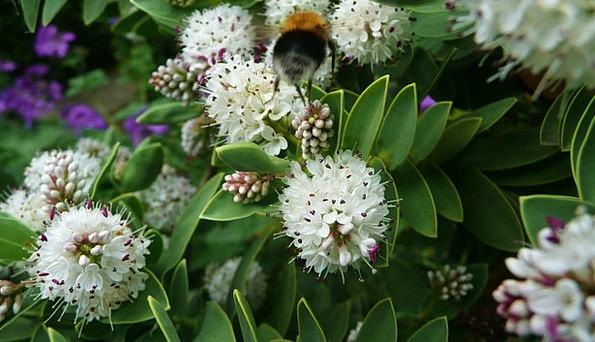 Bumblebee Craft Plants Industry Bee Flowers Wild P