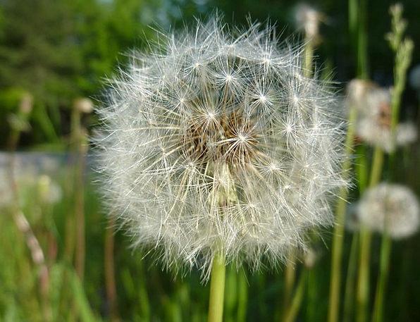 Dandelion Floret Seed Kernel Flower Pollination We