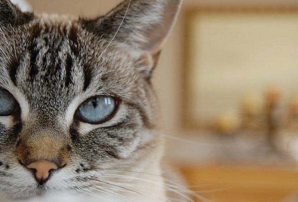 Cat Lynx Point Siamese Blue Eyes Feline Catlike St